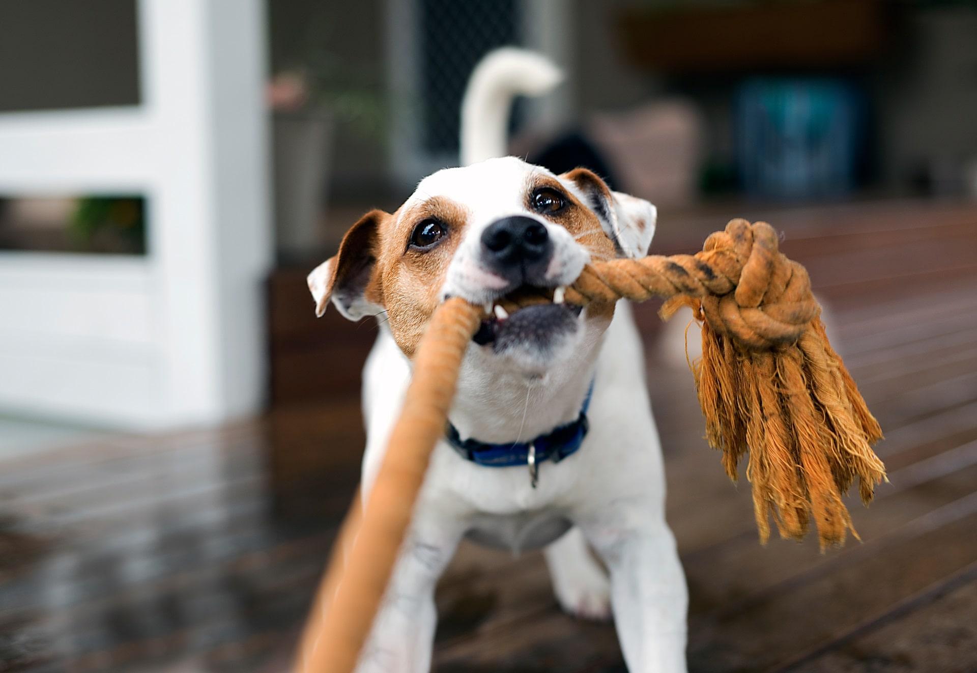 jak zrobić szarpak dla psa