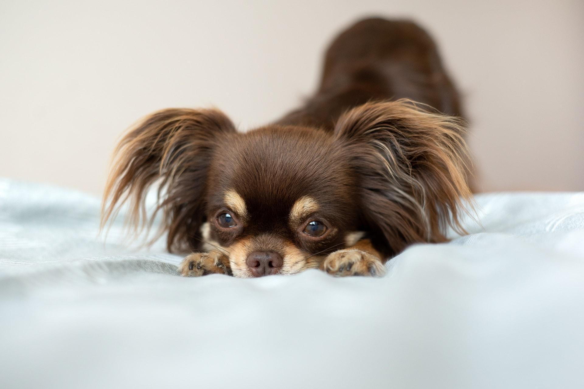 najmniejsze psy świata