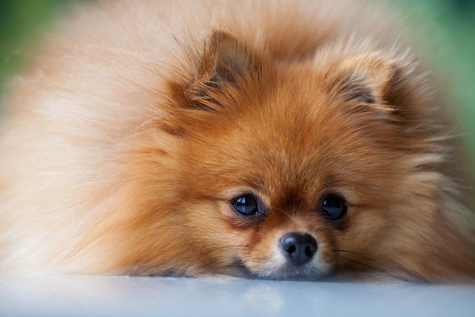 najmniejsze rasy psów