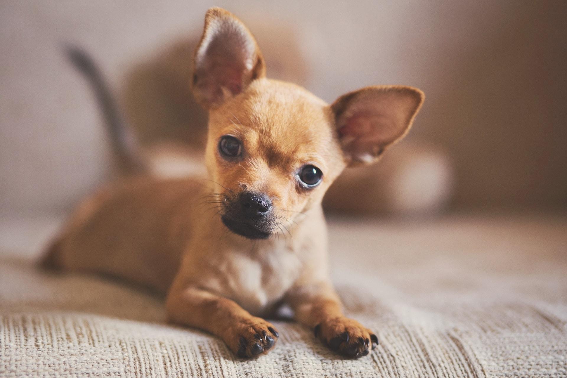 najmniejszy pies na świecie