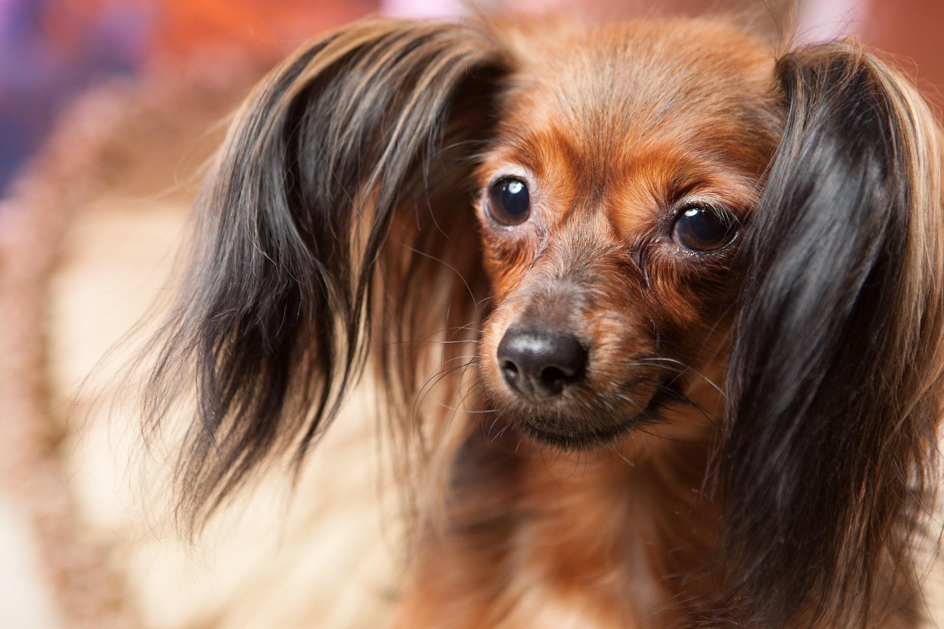 najmniejszy pies rasa