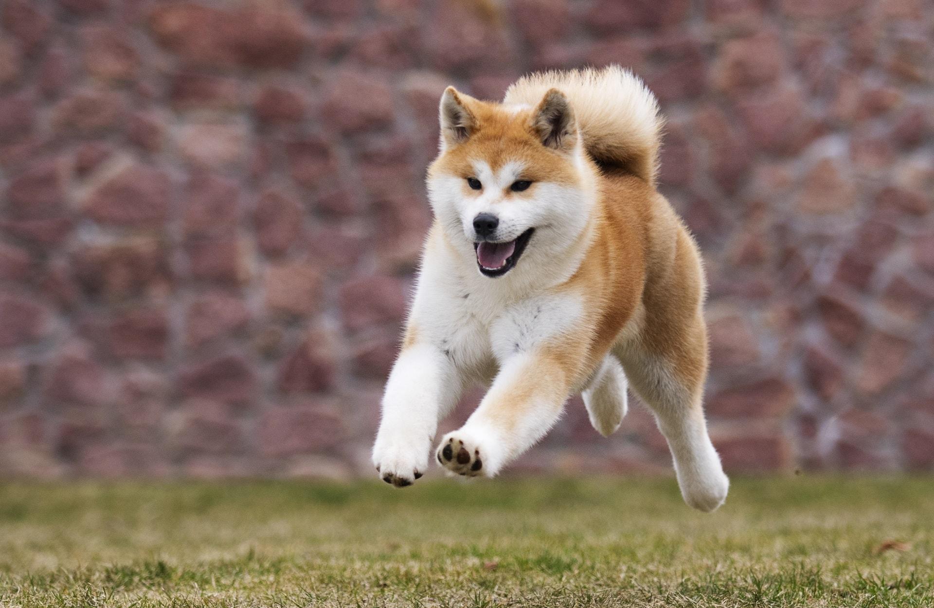 najspokojniejsze rasy psów