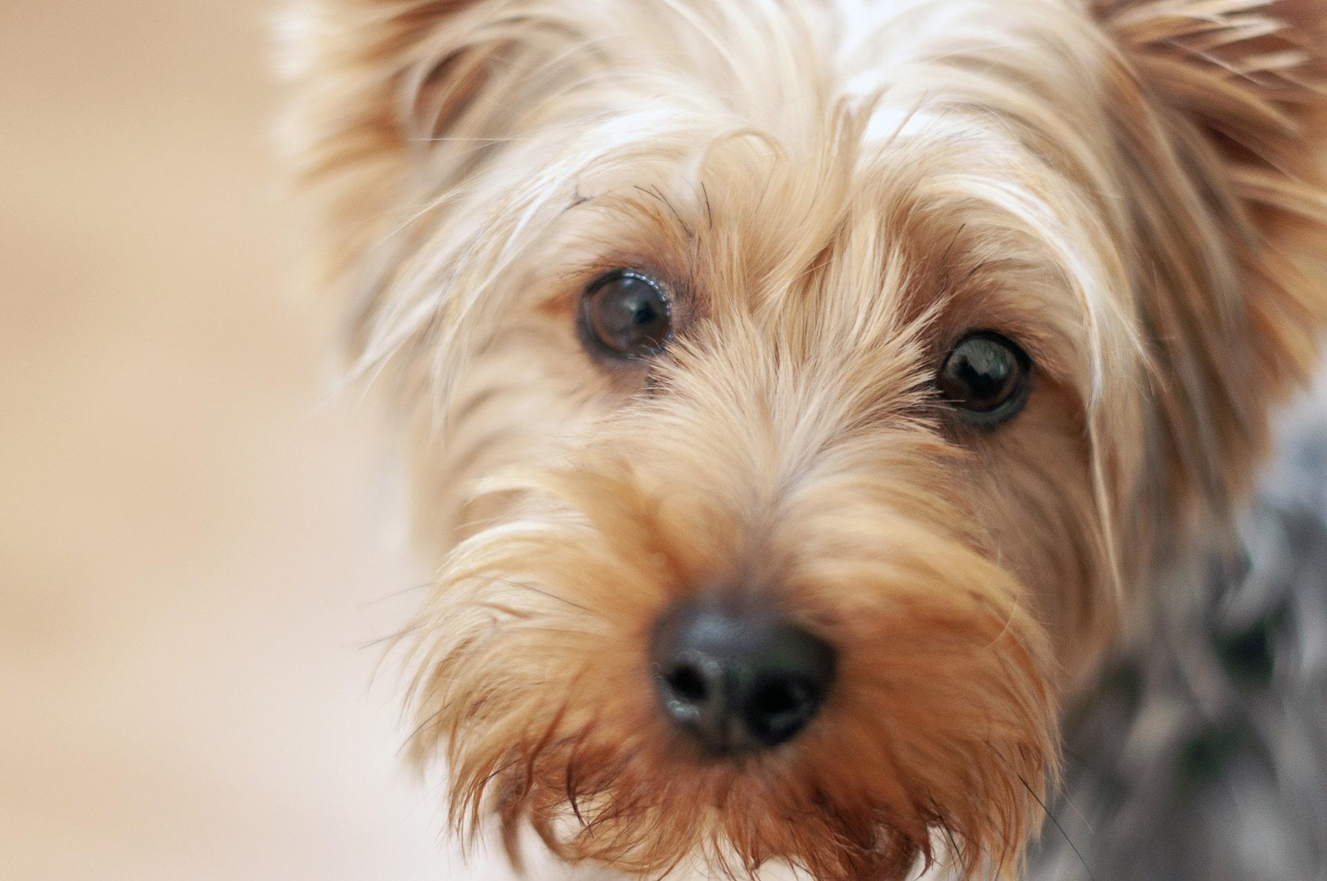 pies boi się właściciela