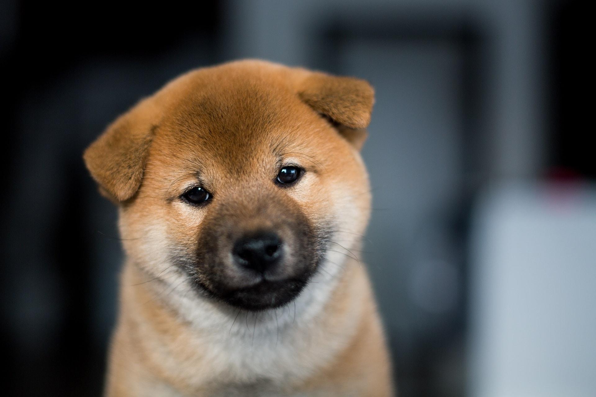 rasy psów które nie szczekają