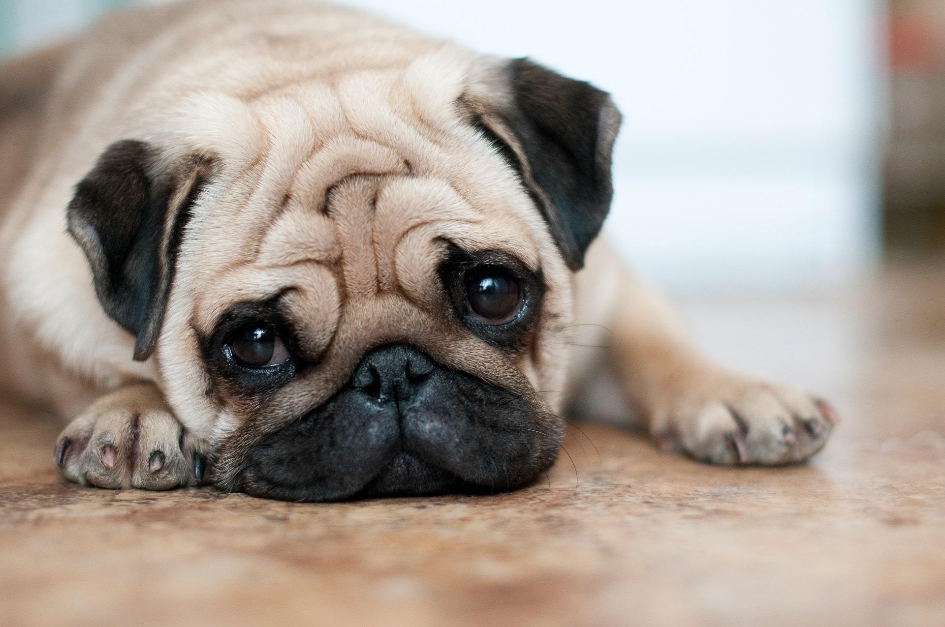 anemia u psa objawy