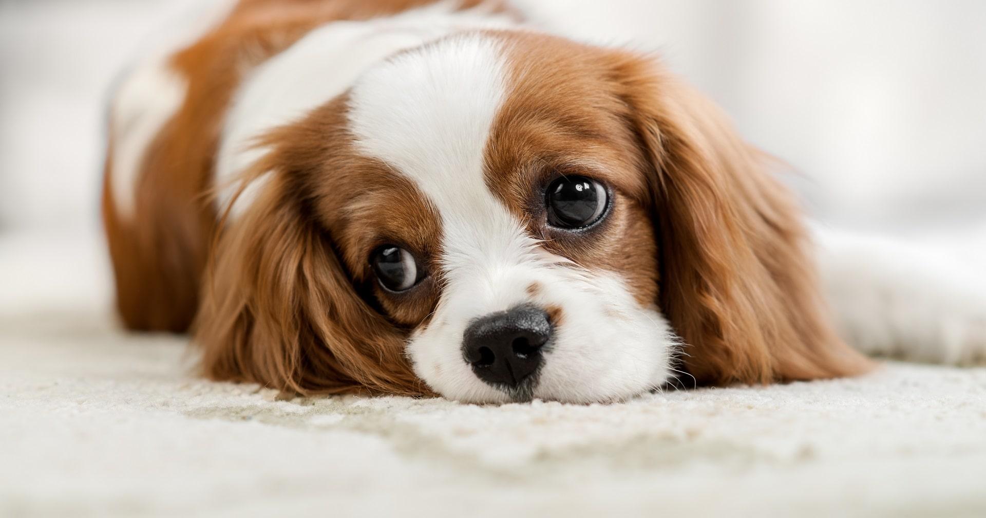 anemia u psa przyczyny