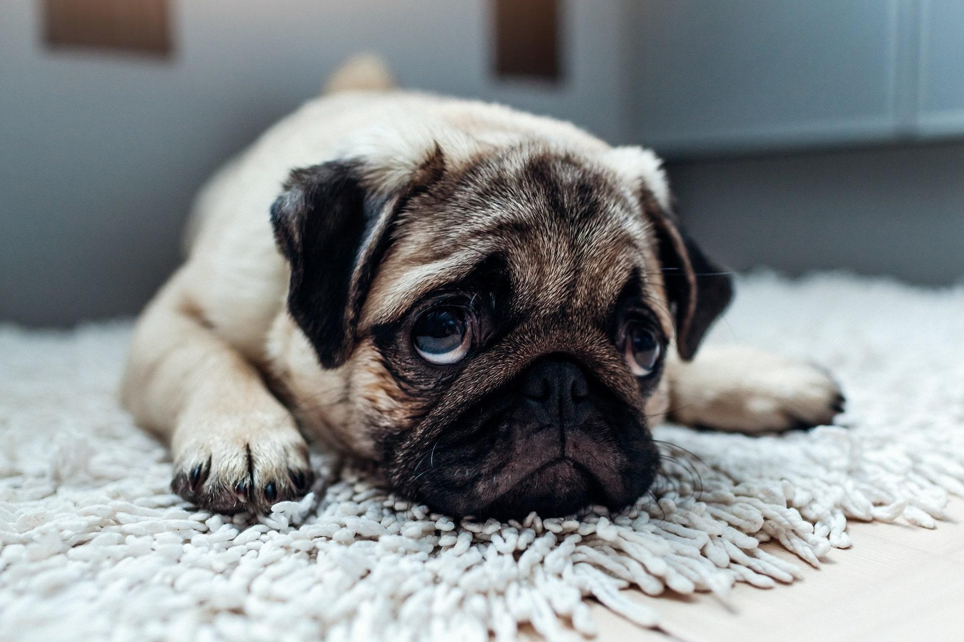 krwawa biegunka u psa