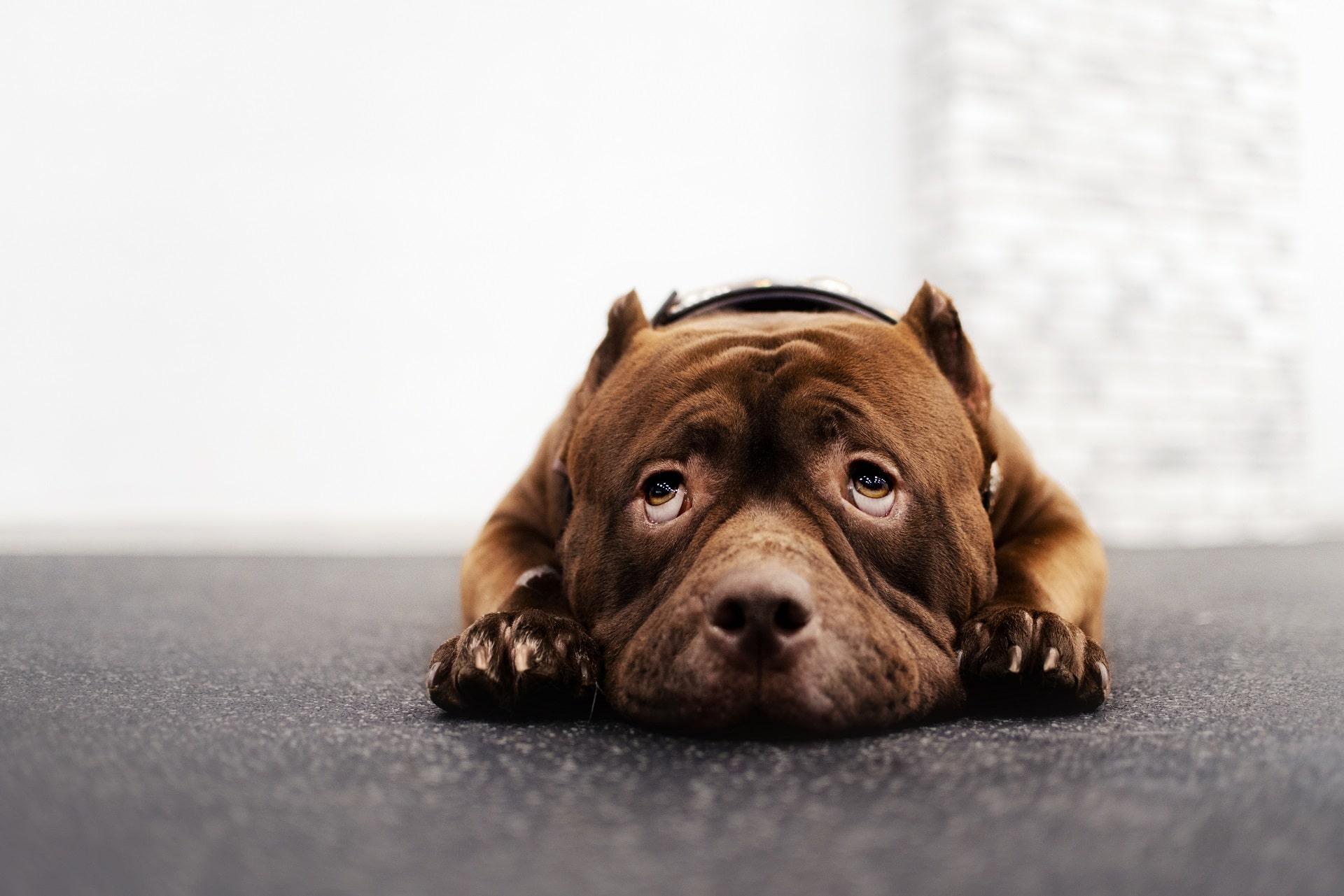 niedokrwistość u psa