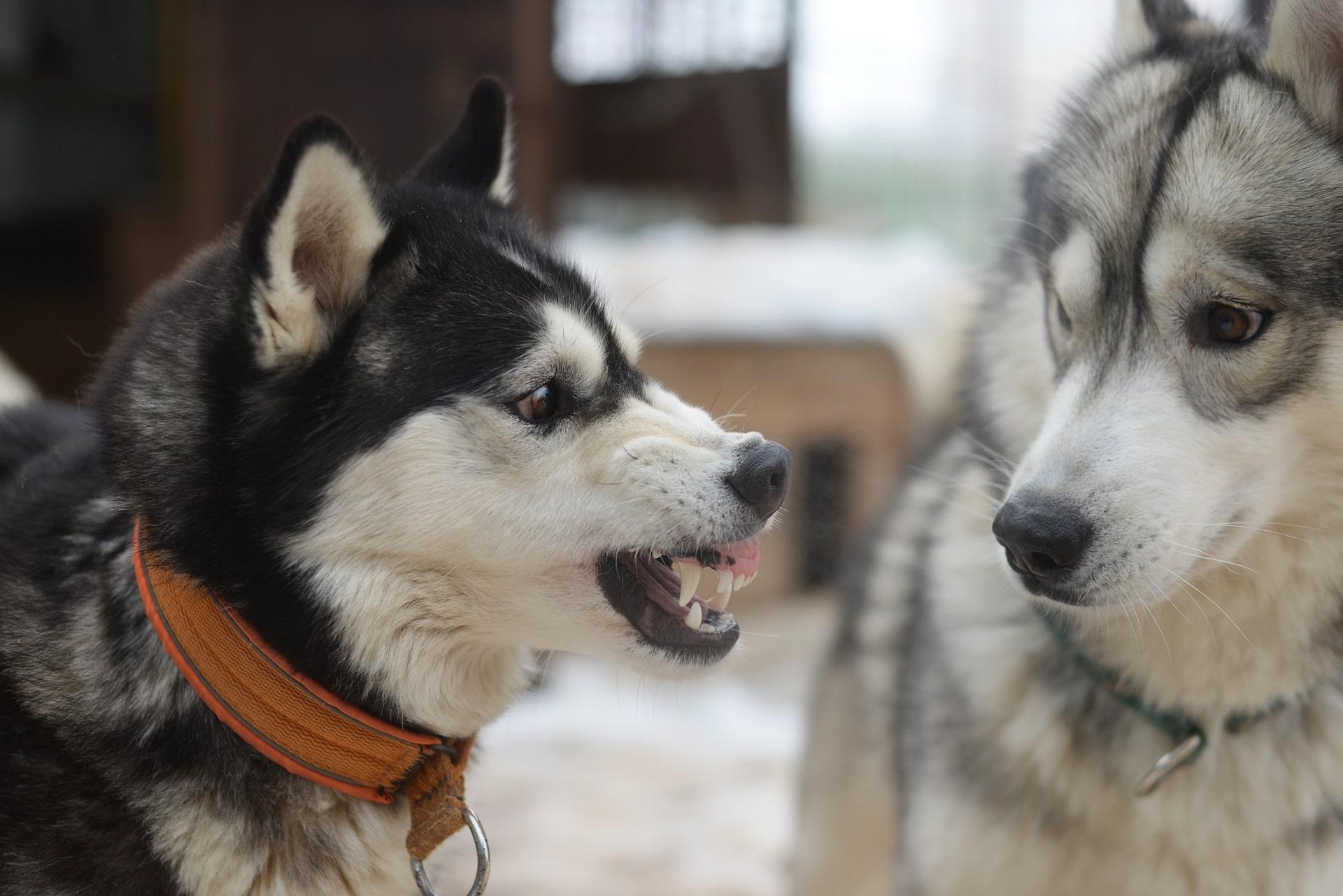 pies atakuje inne psy na spacerze
