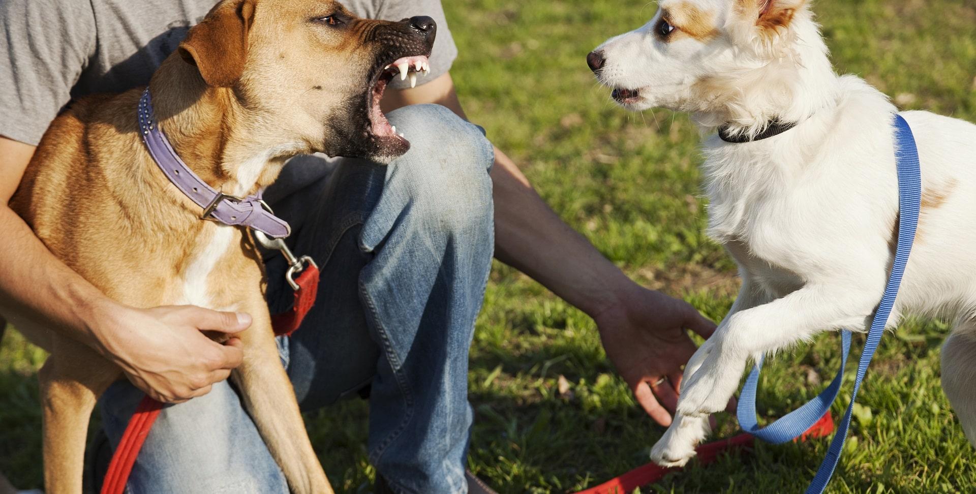 pies atakuje inne psy