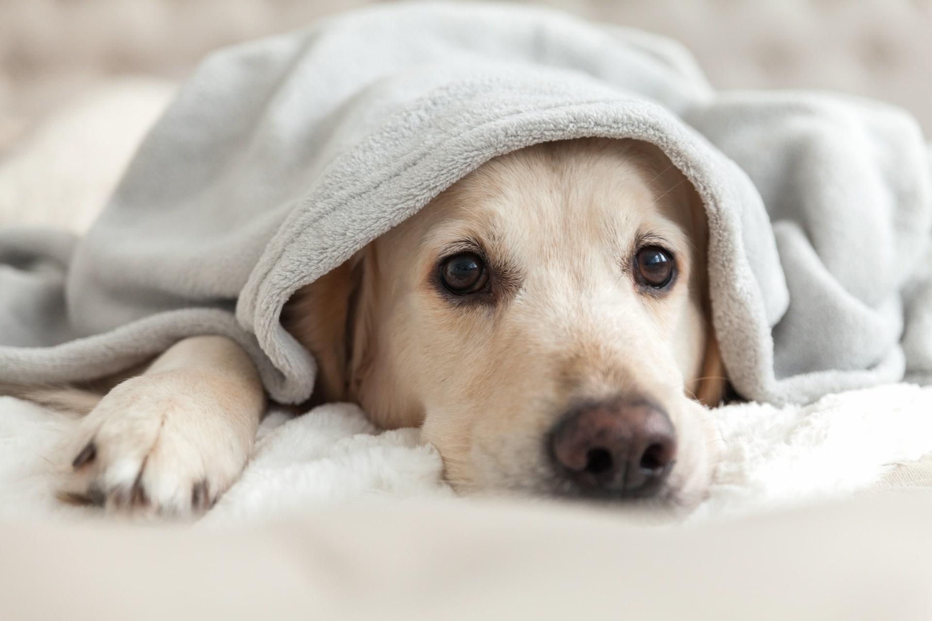 zazdrosny pies