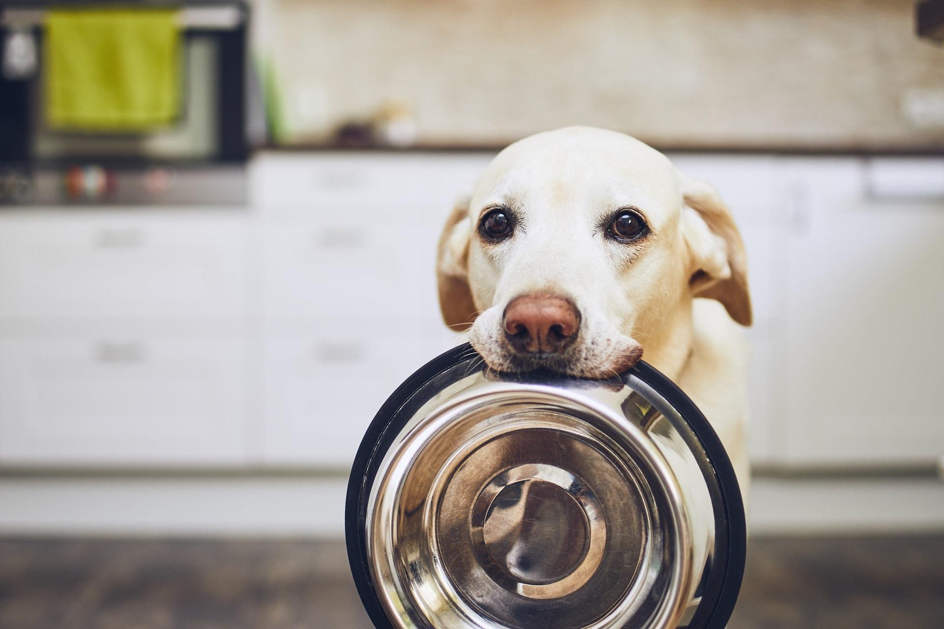 czy psy mogą jeść kukurydzę