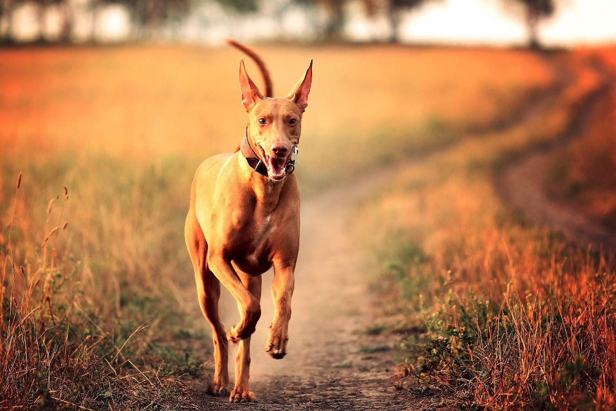 drogi pies