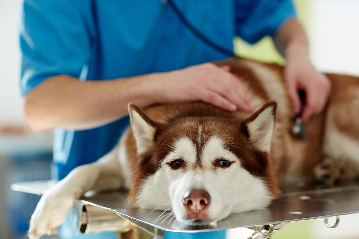 niewydolność nerek u psa leczenie