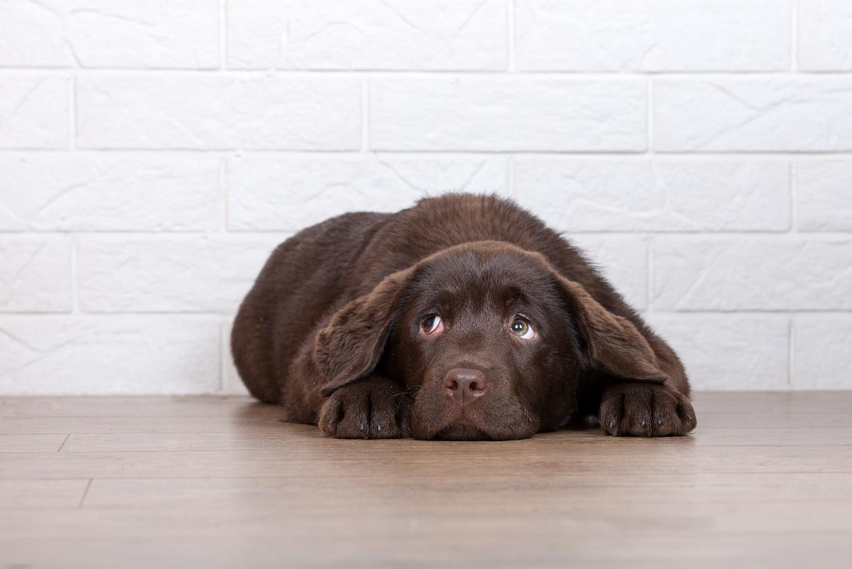 niewydolność nerek u psa objawy