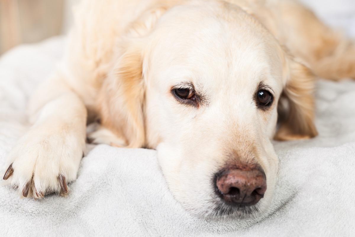 przewlekła niewydolność nerek u psa