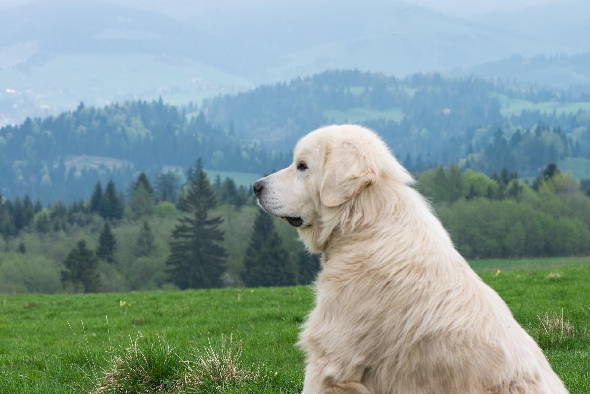 rasy psów stróżujących
