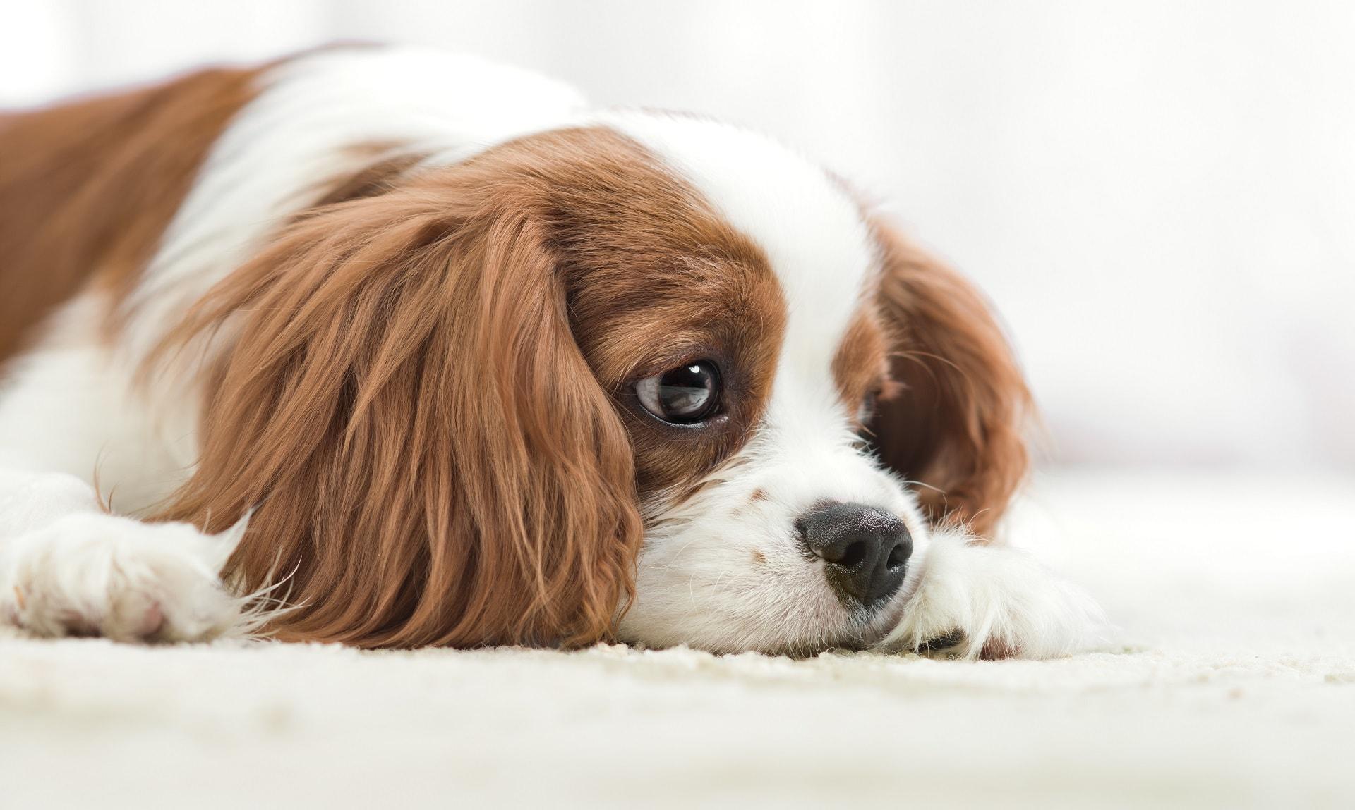 zatwardzenie u psa