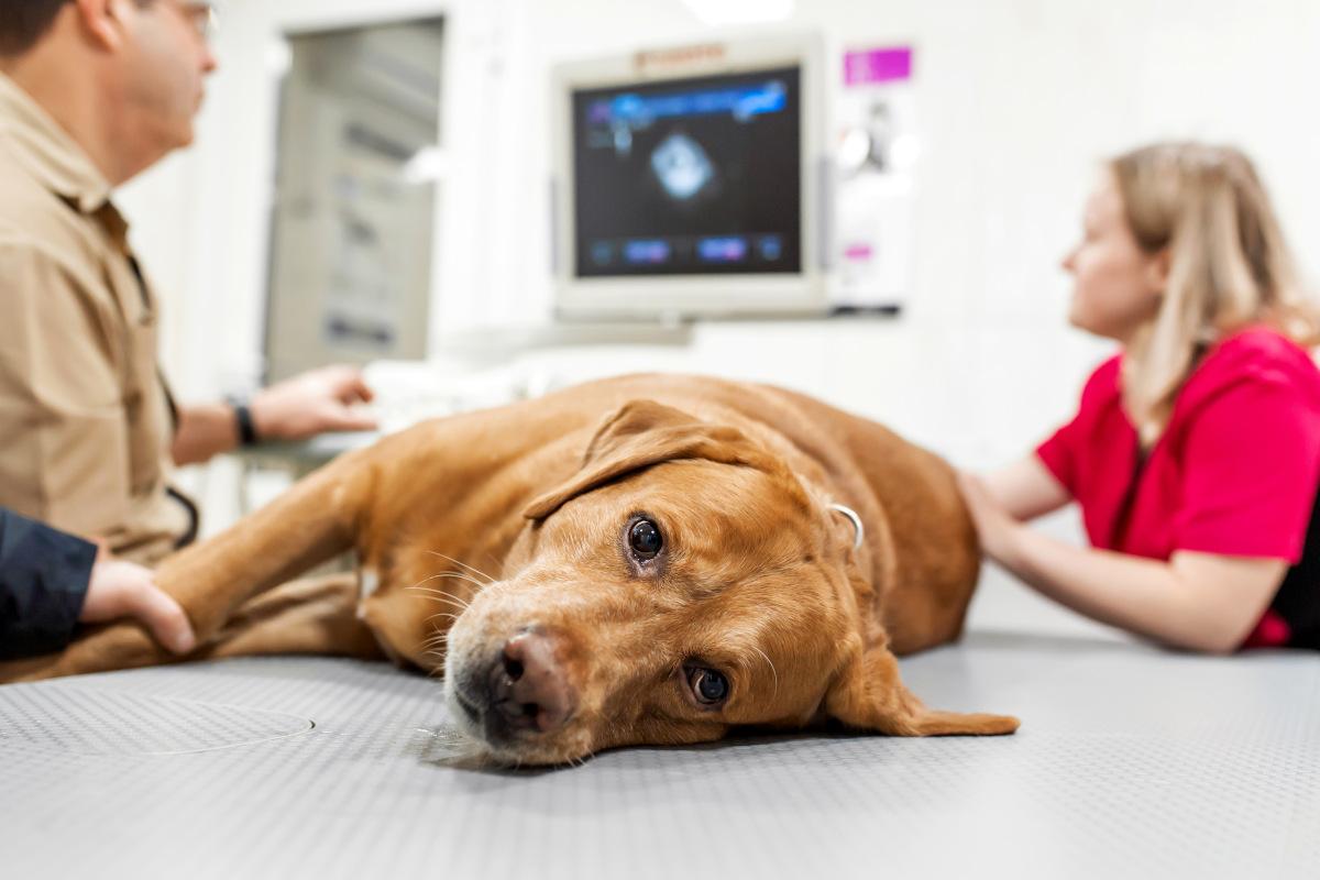 urojona ciąża psa