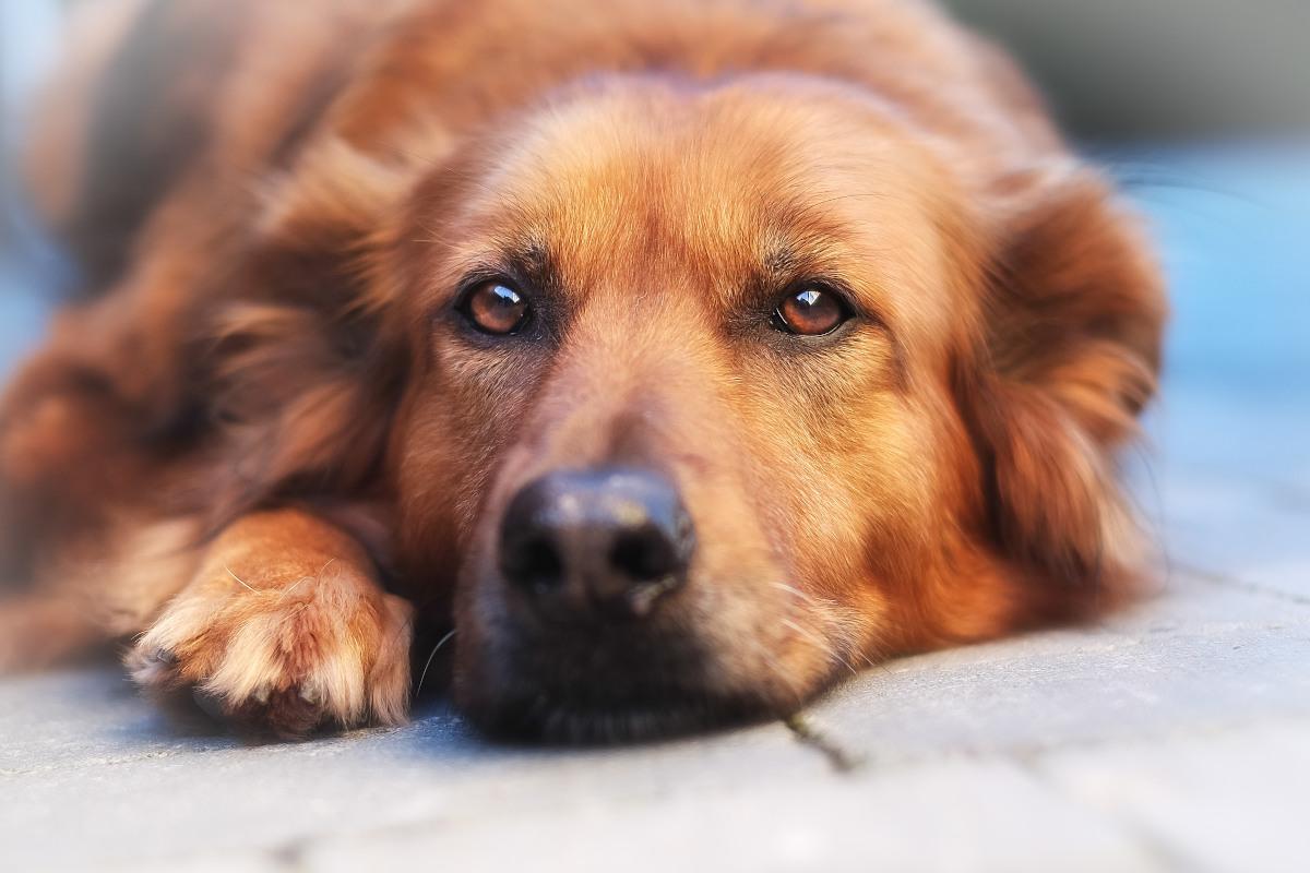 dlaczego psu ropieją oczy