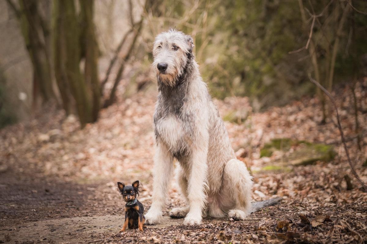 największe psy