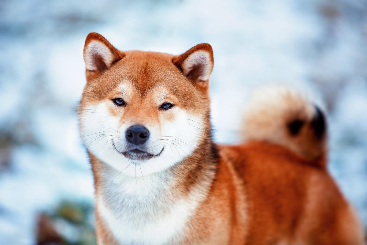 pierwotny pies