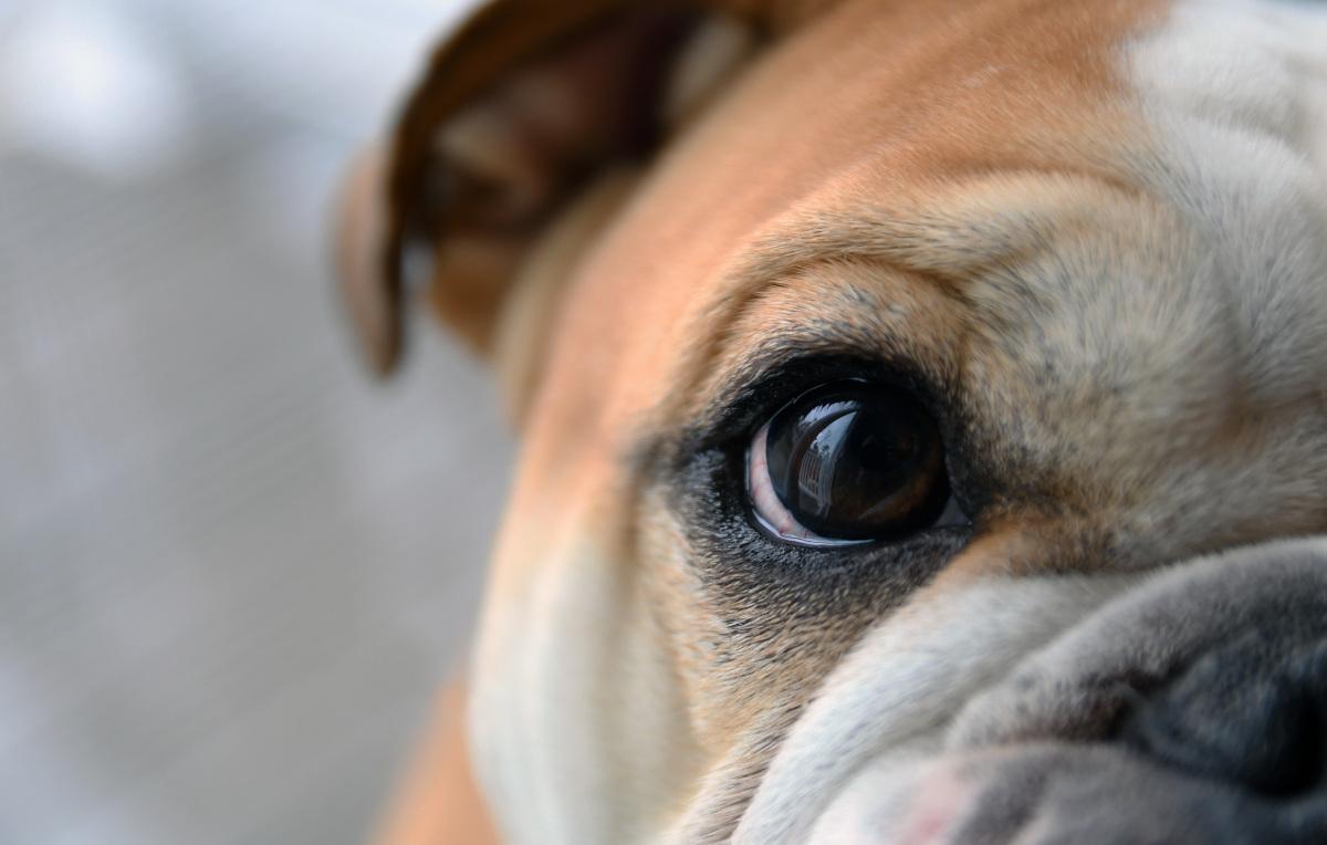 psu ropieją oczy