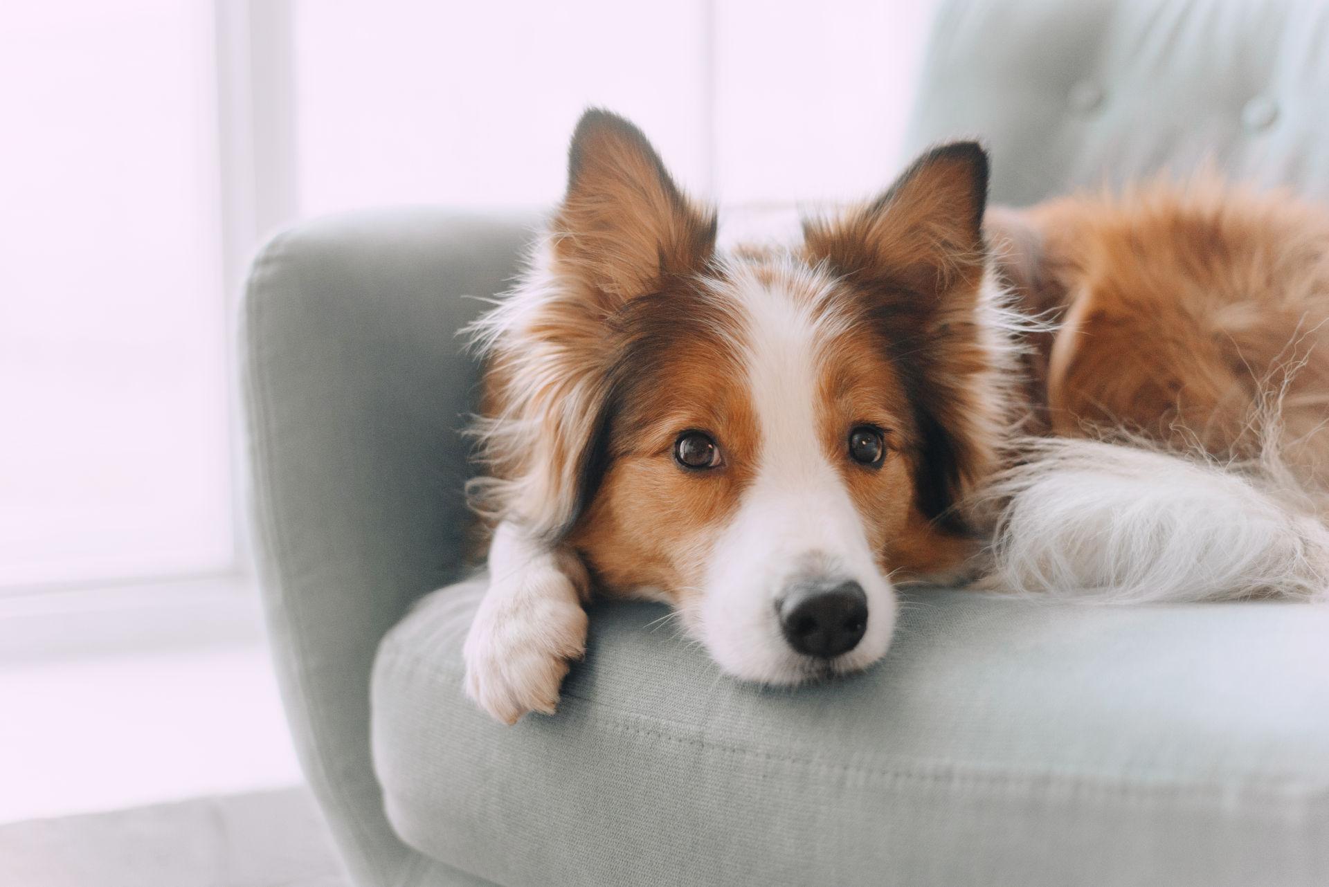 ropiejące oczy u psa