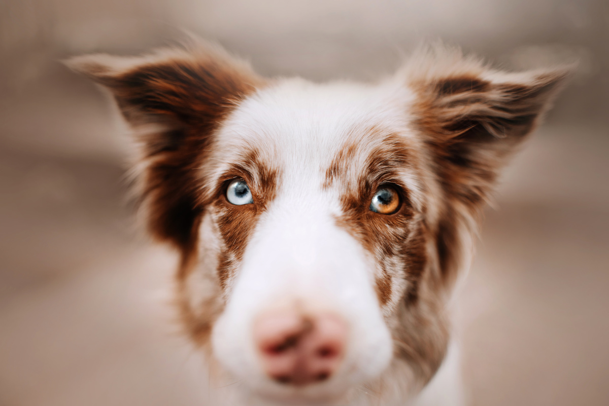 ropiejące oko u psa