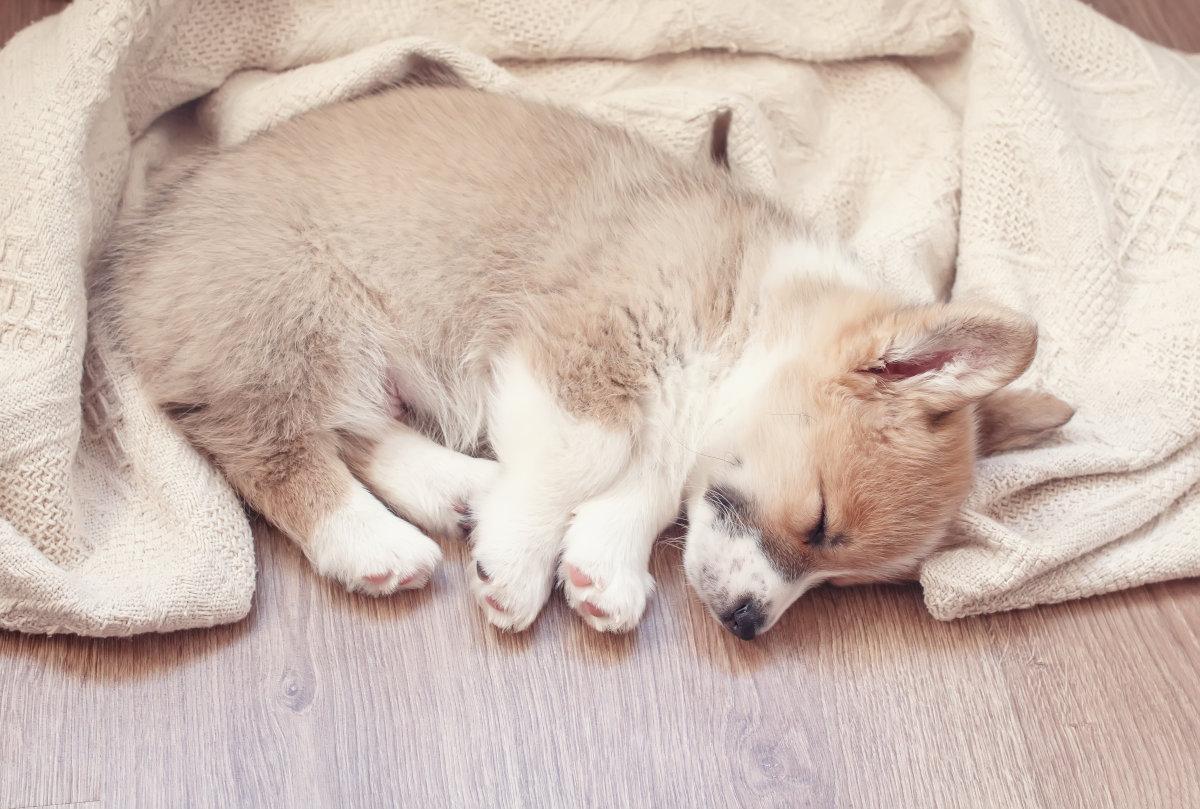 czy pies śni