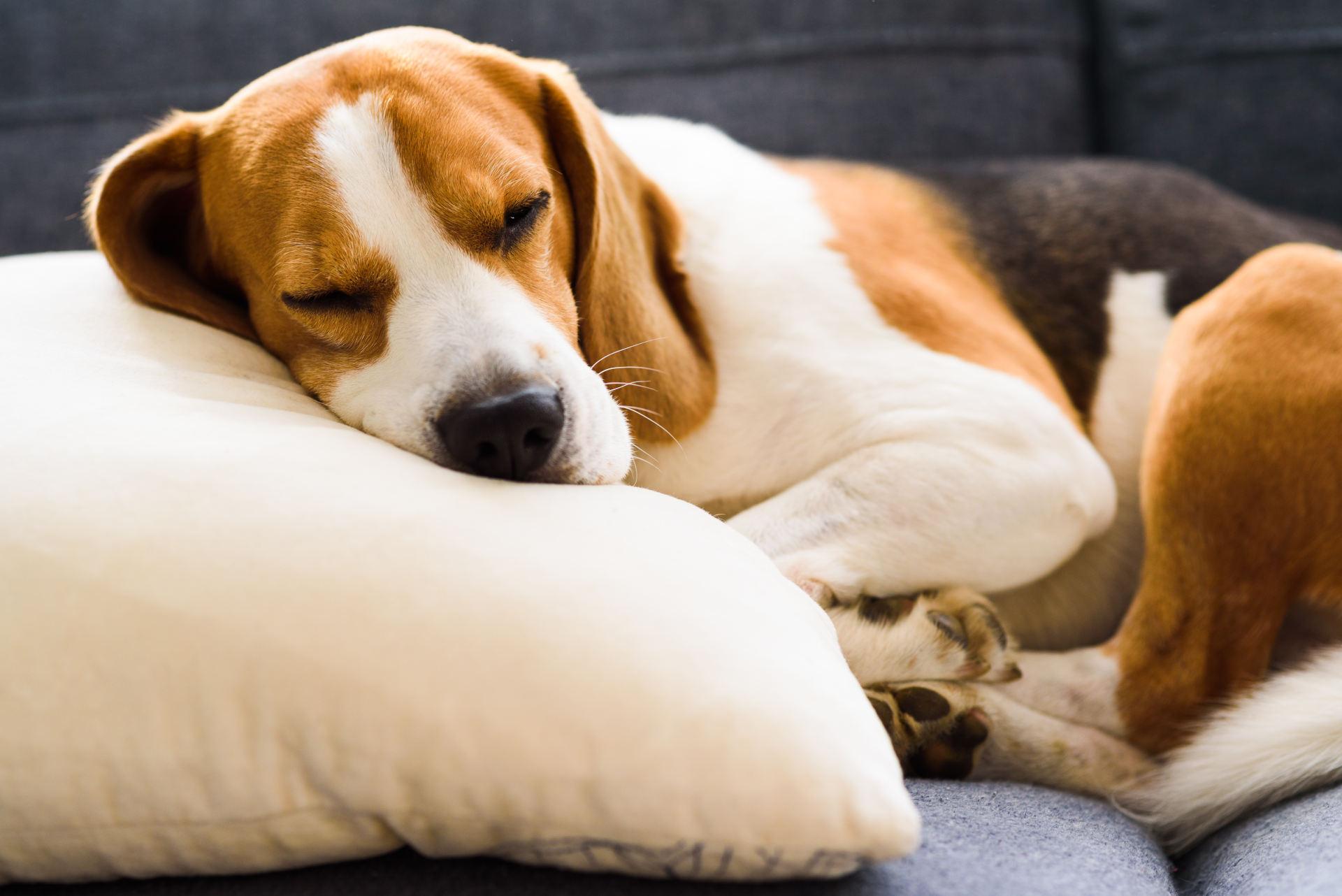 czy psy mają sny