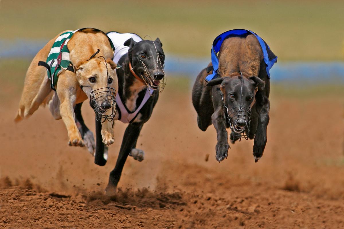 najszybszy pies świata