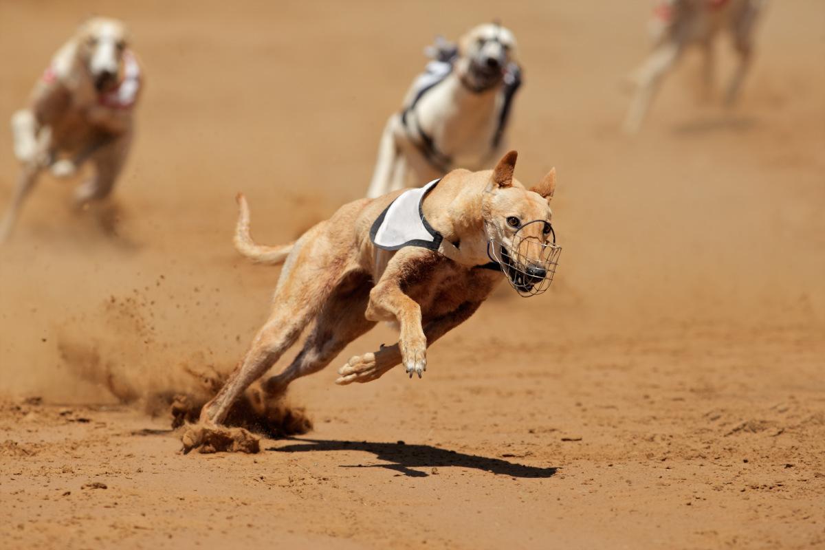 najszybszy pies