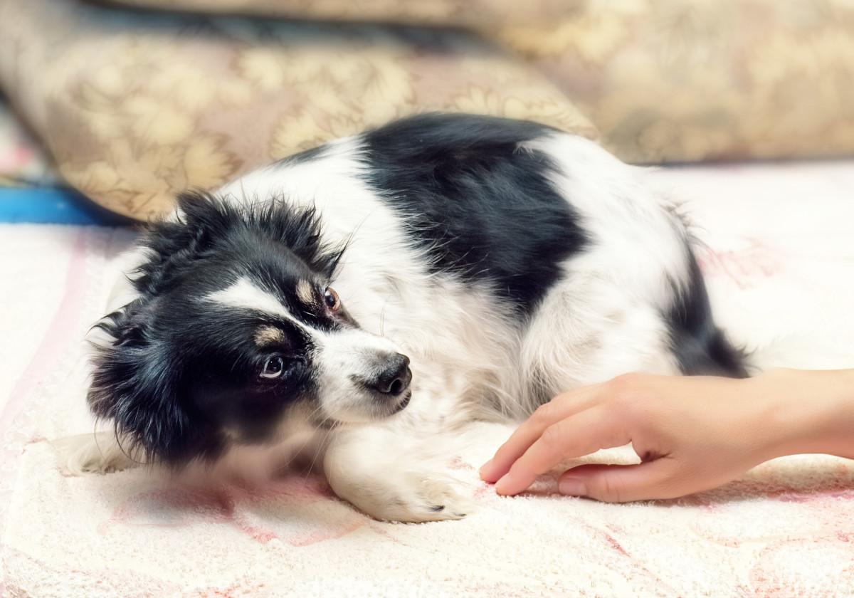 pies boi sie wlasciciela