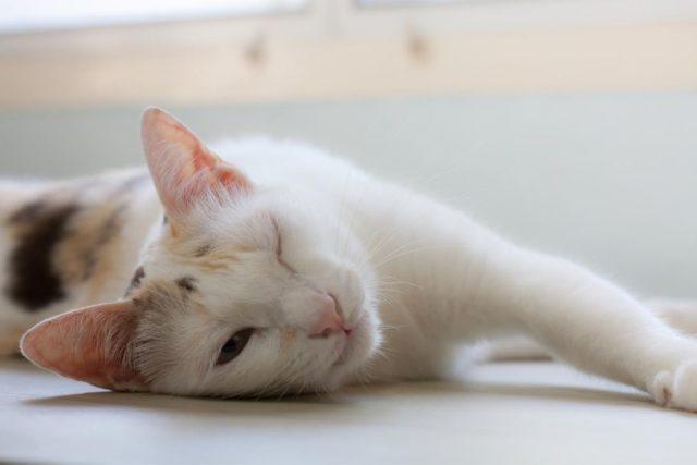 zaropiałe oczy u kota