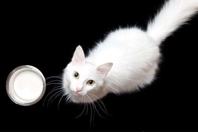 czy kot może pić mleko?