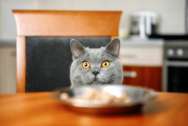 jak karmić kota?