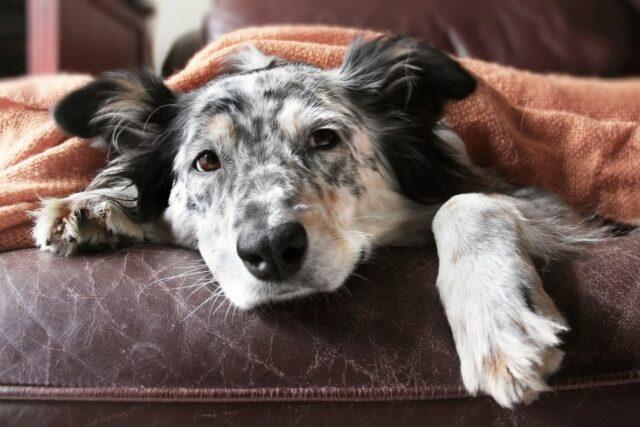 cukrzyca u psa
