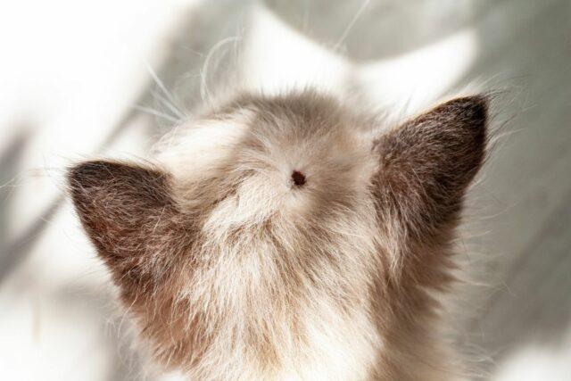 kleszcz u kota