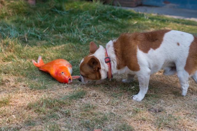 czy pies może jeść ryby