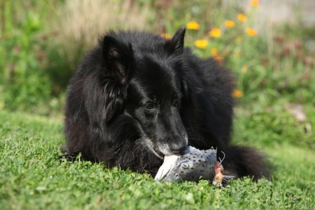 czy pies może jeść ryby ?