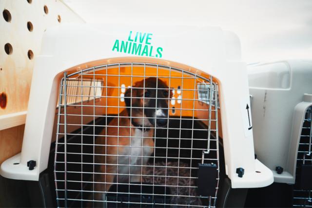 pies w samolocie 2