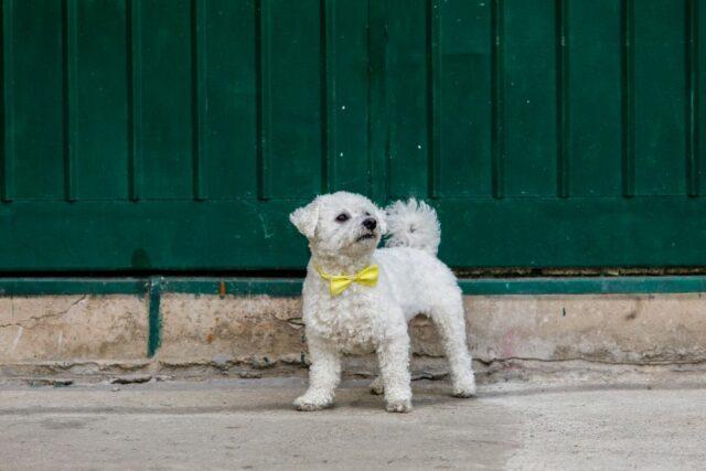 co oznacza żółta wstążaka u psa